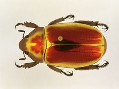 Google Image Result for http://images.nationalgeographic.com/wpf/media-live/photos/000/006/cache/scarab_699_600x450.jpg