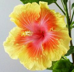 Rainbow Hibiscus...perfect match to the blue orchid for a blue and yellow theme.