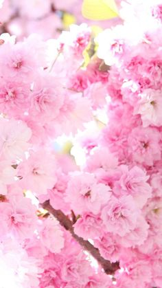 Pink cherry blossoms HD Wallpaper iPhone 6 plus