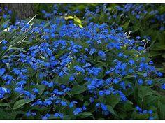 Omphalodes verna - Le jardin de Taurignan, producteur de plantes vivaces