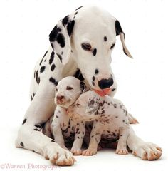 Dalmatian Dogs | Dogs: Dalmatian and pups photo - WP02783