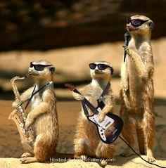 Rockin' meerkats