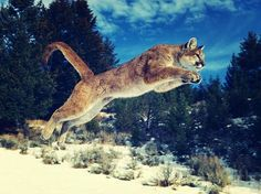 Puma in full stretch. Photo by Syed Hammad -- National Geographic Your Shot