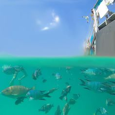 At the pontoon on Lady Musgrave Island #fish #ladymusgraveisland #southerngreatbarrierreef #gladstoneregion #seeaustralia #australia #nature #gbrmarinepark #greatbarrierreef #underwater #gopro #goproanz #goprooftheday #reef #igs_oceania #great_captures_nature #great_captures_australia #ocean #world_bestanimal #wow_australia #thisisqueensland #aussiephotos by beachology http://ift.tt/1UokkV2