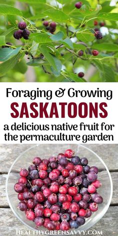 Whether you call it juneberry, serviceberry, or saskatoon, this delicious purple fruit is a wonderful treat to grow or forage! Learn how to find this yummy berry and what to do with it. #juneberry #saskatoon #foraging #nativefruit #superfoods #permaculture Purple Fruit, Green Living Tips, Eat Seasonal, Permaculture, Superfoods, Berry, Healthy Living, Treats, Vegetables