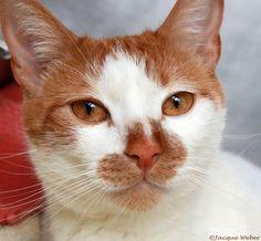 Meet Julius, an adoptable Domestic Short Hair - orange and white looking for a forever home. If you're looking for a new pet to adopt or want information on how to get involved with adoptable pets, Petfinder.com is a great resource.