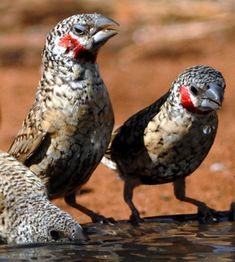 Cut-throat Finches