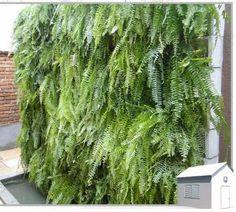 As samambaias são lindas plantas de crescimento rápido que ficam muito bem no corredor de uma casa ou como protagonistas penduradas na decor...