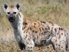 Hyena Sanctuaries in Telangana, India @ Sanctuariesindia.com
