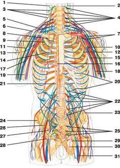 Spinal Nerves: 1 auricular 2 occipital 3 supraclavicular 4 cervical plexus 5 subclavian 6 suprascapular 7 brachial plexus 8 phrenic 9 subscapular 10 median 11 musculocutaneous 12 thoracodorsalis 13 axillary 14 long thoracic 15 medial cutaneous 16 great splanchnic 17 radial 18 ulnar 19 medial cutaneous  20 intercostal 21 small splanchnic 22 lumbar plexus 23 iliohypogastric 24 ilioinguinal 25 sacral plexus  26 femoral 27 upper gluteal 28 lower gluteal 29 posterior cutaneous 30 obturator 31…