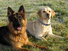 German Shepherd Wolf Mix Is This Legendary Wolfdog Right Lab