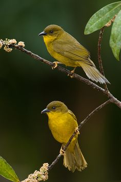 Yellow-olive Tanager by Octavio Campos Salles