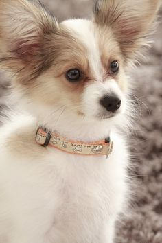 Sometimes...The smallest things take up the Most room in your Heart | #dog #papillon #pet