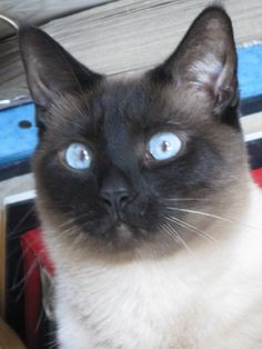 Pictures of Siamese Cat Breed
