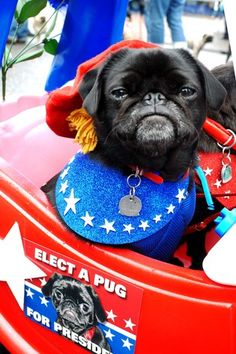 For my friend, Bev -vote pug Pug Love, I Love Dogs, Cute Dogs, Black Pug Puppies, Pug Mug, Fawn Pug, Pug Pictures, Pet Costumes, Dog Lovers