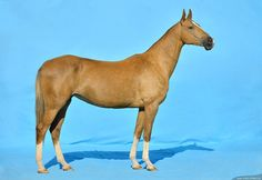 mare  EDEL (Garagach - Etkul) palomino, born in 2007, line Gundogar. Measurements: 158-169184-19,5 sm. Owner: Saks Stable, Kazakhstan ©Artur Baboev - FOTART