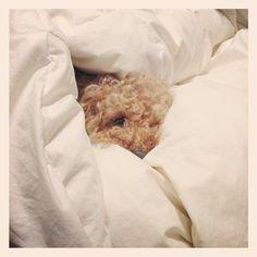 もぐる #toypoodle  #dog - @sakkn- #webstagram
