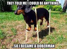 Dachshund became a Doberman. I have a Dachshund and he looks exactly like the one in this picture. Finally Tank can live up his name! :D hahahah Dachshund Funny, Dachshund Love, Funny Dogs, Daschund, Doberman Funny, Mini Doberman, Doberman Dogs, Dachshund Puppies, Bloodhound