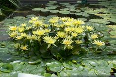 Nymphaea 'St. Louis Gold'