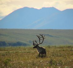 Caribou, Noatak National Preserve, near Kotzebue, Alaska - Wildlife of the Noatak tundra includes moose, grizzly bears, black bears, wolves, arctic foxes, lemmings, Dall's sheep, vast herds of caribou numbering more than 500,000 individuals, and a variety of birds.