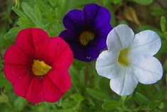 Great Combo for a patriotic summer. God Bless America! Red White and Blue Calibrachoa 'Superbells'