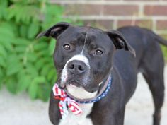 GONE 6-29-2015 --- Brooklyn Center PRINCE LARRY – A1040318 MALE, BLACK / WHITE, AM PIT BULL TER, 5 yrs OWNER SUR – EVALUATE, NO HOLD Reason PERS PROB Intake condition EXAM REQ Intake Date 06/16/2015