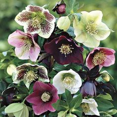 25 Seeds of Helleborus Lenten Rose! (MIXED COLOR): 25 Fresh Helleborus Lenten Rose Seeds - Mixed Color Zones: Soil Condition: Normal, Acidic, Sandy Sun-Shade: Mostly Sunny to Full Shade Bloom Time: Early Spring to Late Spring Shade Perennials, Flowers Perennials, Shade Plants, Planting Flowers, Fall Planting, Flower Plants, Shade Flowers, Cut Flowers, Meadows Farms