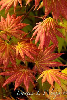 Maple 'Autumn Moon' Acer shirasawanum