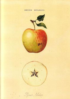 Pyrus malus by Nigel Edwards Love Garden Magick Immortality Friendship Healing Place seven apple seeds in a bag with Orris Root to attract sexual love Use in rituals to. Apple Illustration, Botanical Drawings, Botanical Prints, Apple Sketch, Apple Tattoo, Apple Art, Star Apple, Impressions Botaniques, Illustration Botanique