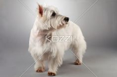 close-up of west highland white terrier - Close-up shot of cute west highland white terrier on grey background
