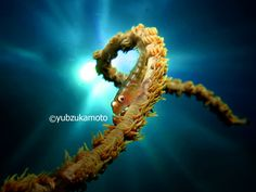WhipCoral and Goby south bolaang mongondow regency north sulawesi - indonesia