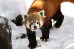 A red panda plods through the snow at Central Park Zoo in New York City on Jan. 3, 2014.