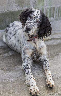 English Setter Puppies, English Pointer Dog, Gordon Setter, Border Collie Puppies, Irish Setter, Hunting Dogs, Big Dogs, Animal Kingdom, Dog Love