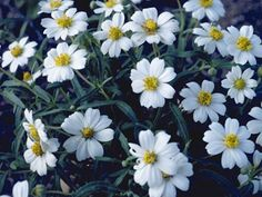 No longer in the garden, but I loved it.  Blackfoot daisy is a sturdy, mounding plant, that will flourish in rock gardens. It is heat and drought tolerant. Good drainage is essential to its success. In late winter, older plants can be cut back halfway to keep them compact. Rich soil and abundant water will likely produce many more flowers in the short-term, but may consequently shorten the lifespan.