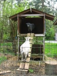 Raised Goat House: hay bin/ feed trough below. Planking raised up on blocks to keep wood from wet rot. I would anchor ramp better to make more secure and widen for safety.