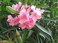 Laurier rose (Nerium oleander), arbuste du jardin