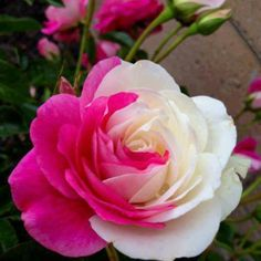 Beautiful pink and white rose combined #beautiful