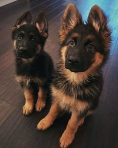 German Shepherds are the BEST companions ~ The trouble with most pets ~ they don - German Shepherd - Dogs Baby Animals Pictures, Cute Animal Pictures, Dog Pictures, Funny Pictures, Cute Baby Dogs, Cute Dogs And Puppies, Doggies, Gsd Puppies, Really Cute Puppies