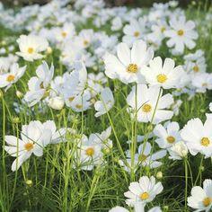 fleur de champs blanche - Recherche Google