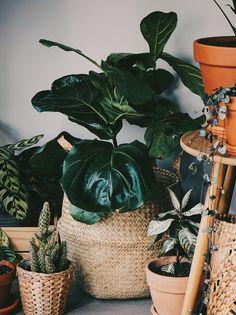 Fiddle Leaf Fig - 7 Covetable Houseplants