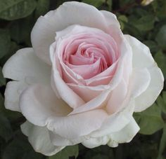 Father of Peace Rose