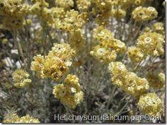 Helichrysum italicum - Immortelle d'Italie hématome - Algodystrophie