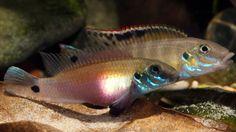 Wallaceochromis signatus summary page Planted Aquarium, Aquarium Fish, Aquarium Ideas, Tropical Aquarium, Tropical Fish, African Cichlids, Beautiful Fish, Aquascaping, Freshwater Fish