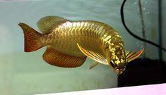 Pretty Fish, Cute Fish, Cichlid Aquarium, Oscar Fish, Fish Varieties, Betta Fish Types, Dragon Fish, Monster Fishing, Watercolor Fish