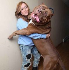 Are you a friend of big dogs? Get to know Hulk, the biggest . Lern Hulk kennen, den größten Pitbull der Er… Are you a friend of big dogs? Meet Hulk, the largest pit bull on earth! Huge Dogs, Giant Dogs, All Dogs, I Love Dogs, Best Dogs, Massive Dogs, Big Pitbull, Merle Pitbull, Pets