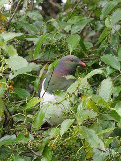 Kereru ( wood pigeon )  Stewart Island, N.Z