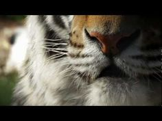 The Wildcat Sanctuary: No More Wild Pets - tiger exotic pet PSA Tiger Habitat, Big Cat Rescue, Pet Tiger, Zoology, Cat Gif, Exotic Pets, Big Cats, Habitats, Public Service