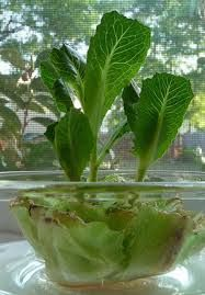 Celery, Cabbage, Bok Choy sprout beautifully from their original stems.