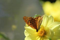 farfalla su dalia