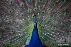 Indian peafowl dances  Photo by Zubin  Bhatt -- National Geographic Your Shot